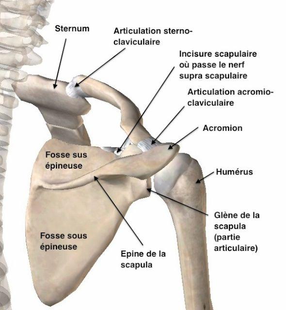 Les fractures de la clavicule, par l'Unité de chirurgie de l'épaule ...